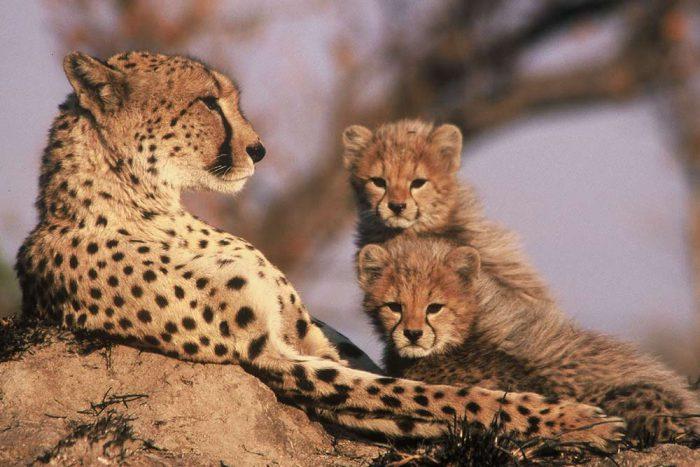 7 daagse Tanzania Trails Tented Camp en Lodge groepssafari   Cheetah with cubs