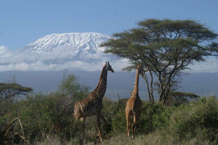 Game Drive met 2 giraffen en een met sneeuw bedekt Kilamanjaro berg