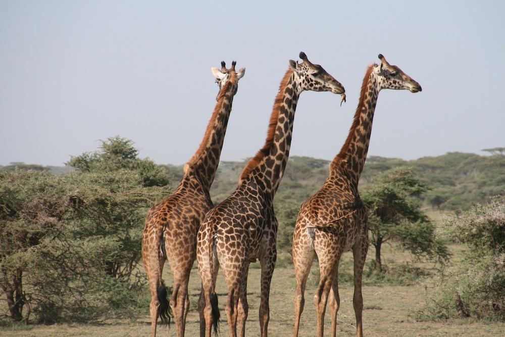 The Big Five Bekijken Tijdens Een Safari In Tanzania
