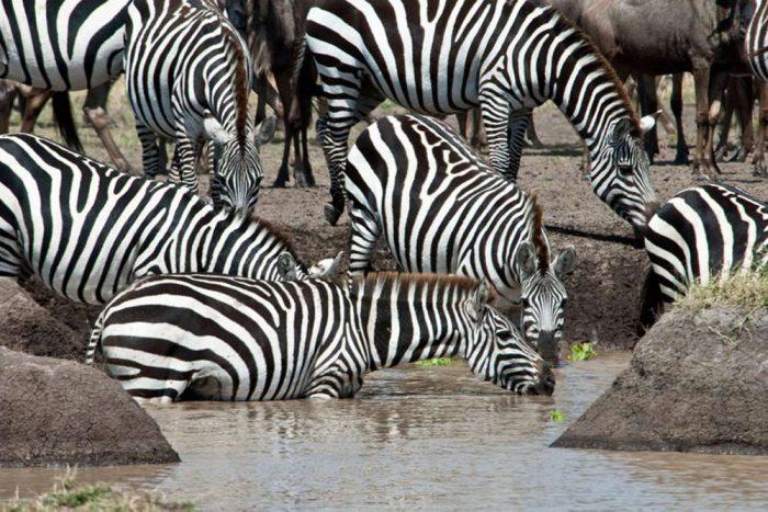 Zebra drinking highlights of Tanzania Prive lodge safari