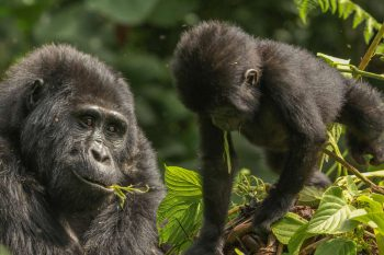7 Daagse Ontmoeting Met De Gorillas Camping Groepssafari