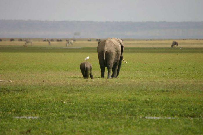 Moeder olifant met haar baby | Tanzania Trails Tented Camp en Lodge groepssafari