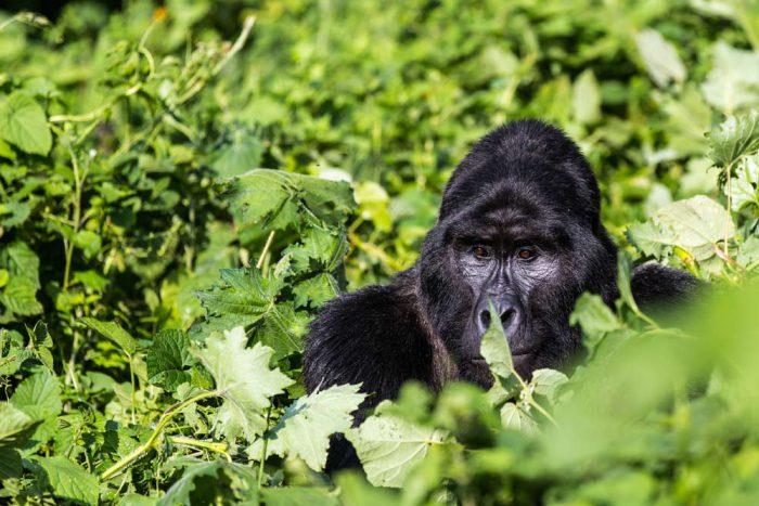 Gorilla trekking Oeganda reis