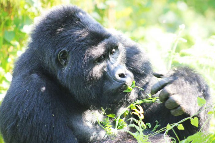 Gorillas in het Bwindi Forest Nationaal Park