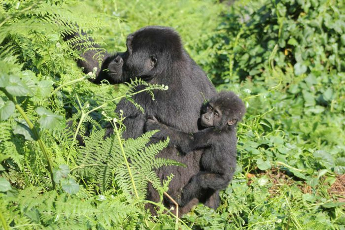 Mother and baby gorilla Bwindi Forest