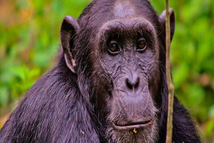 Oeganda chimpansee rondreis