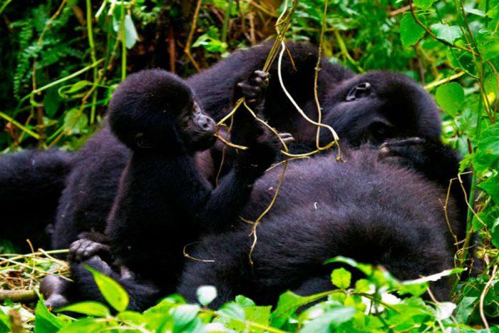 Oeganda moeder gorilla met baby