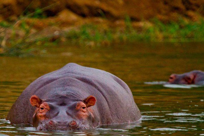 Oegandareis Nijlpaard in rivier