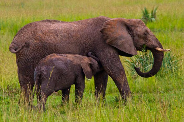 Moeder olifant met baby tijdens Oeganda safarireis
