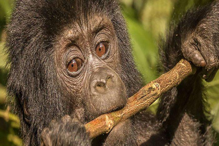 baby gorilla oeganda